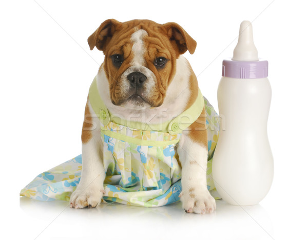bottle feeding young puppy Stock photo © willeecole