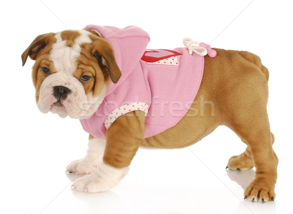 puppy wearing dog coat Stock photo © willeecole