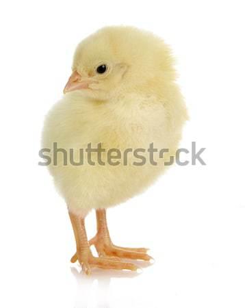 baby chick  Stock photo © willeecole