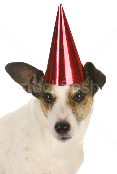 party dog Stock photo © willeecole