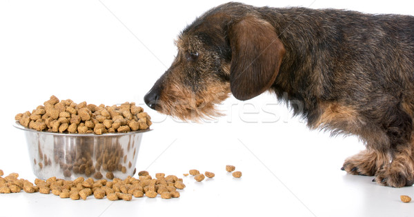 Perro miniatura dachshund pie tazón Foto stock © willeecole