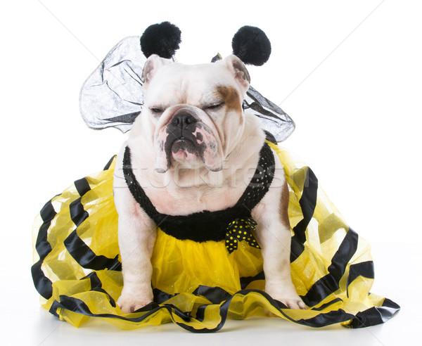 Hund wie Biene Bulldogge tragen Kostüm Stock foto © willeecole