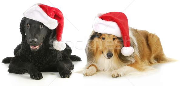 christmas dogs Stock photo © willeecole