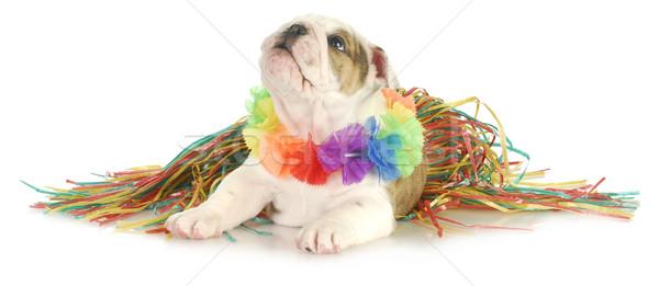 Vacanze cane english bulldog indossare fiore Foto d'archivio © willeecole