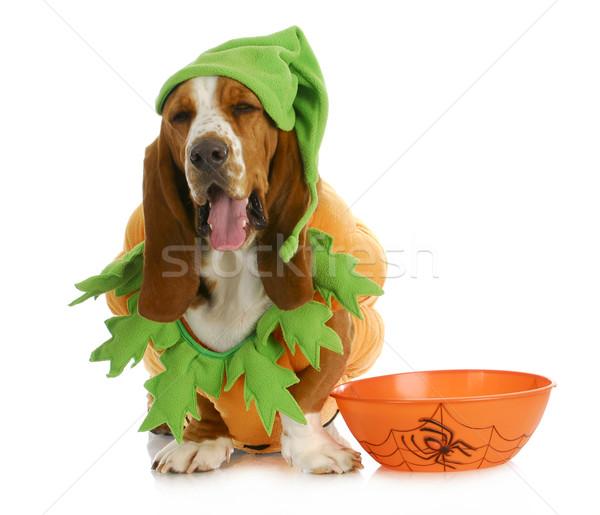 Halloween psa ogar dynia posiedzenia obok Zdjęcia stock © willeecole