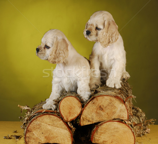 two puppies playing on wood pile Stock photo © willeecole