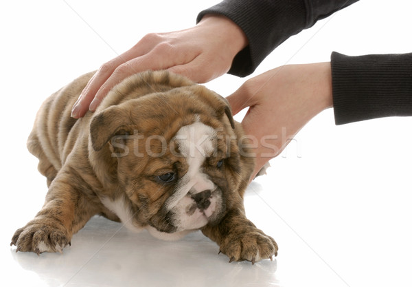 hands picking up five week old english bulldog puppy Stock photo © willeecole