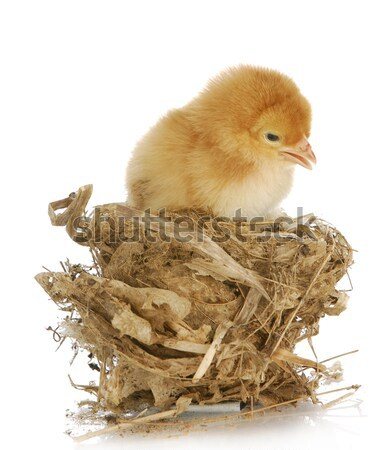 two baby chicks Stock photo © willeecole