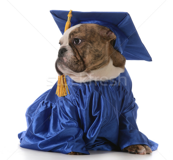 Pet laurea english bulldog indossare laurea Foto d'archivio © willeecole