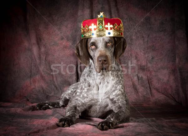 spoiled dog Stock photo © willeecole