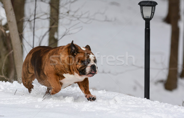 dog running in the snow Stock photo © willeecole