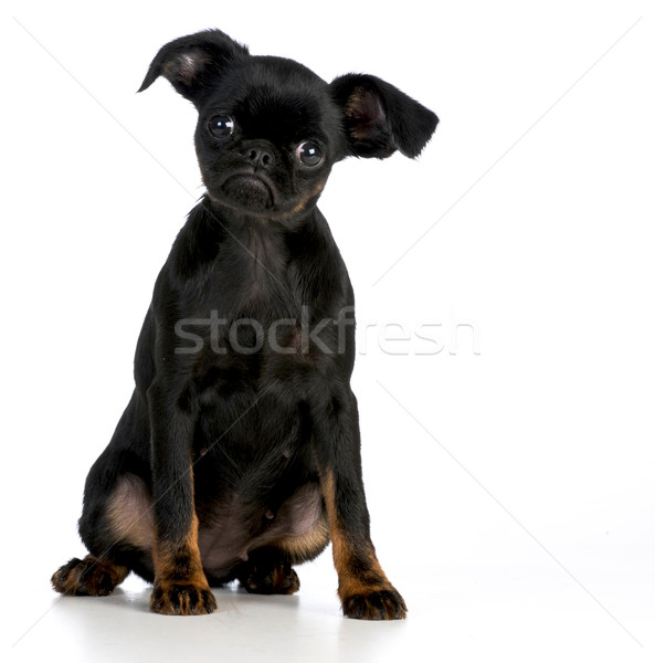 Brussel puppy naar grappig dier studio Stockfoto © willeecole