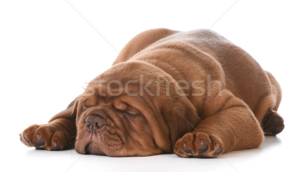 dogue de bordeaux Stock photo © willeecole