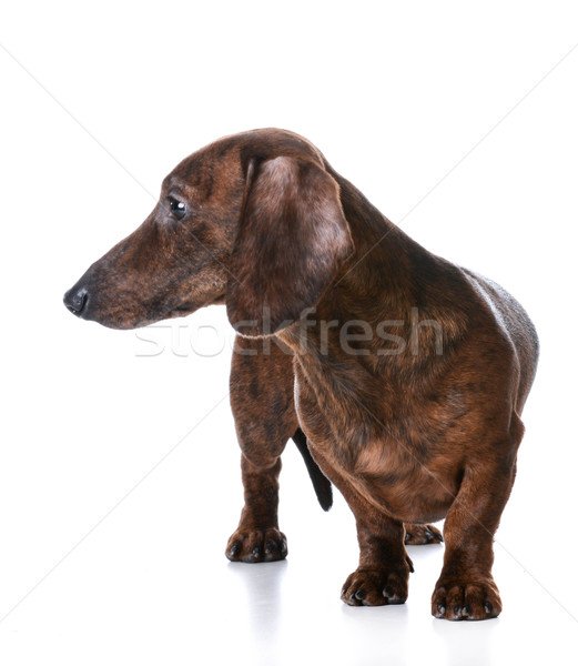 miniature smooth dachshund Stock photo © willeecole