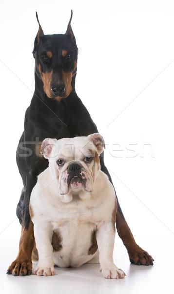 Twee honden bulldog doberman samen witte Stockfoto © willeecole