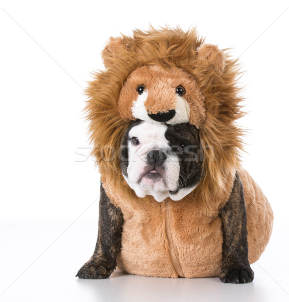 chiot costume anglais bulldog lion photo stock john mcallister willeecole. Black Bedroom Furniture Sets. Home Design Ideas