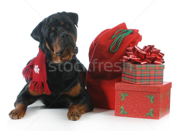 クリスマス 犬 ロットワイラー 着用 スカーフ ストックフォト © willeecole