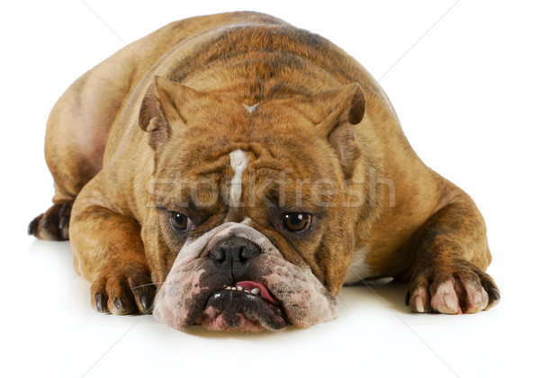 grumpy dog Stock photo © willeecole