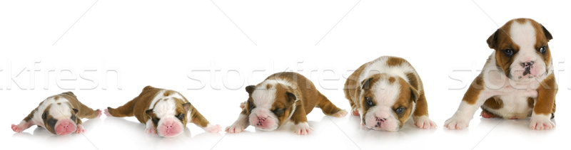 puppy growth Stock photo © willeecole