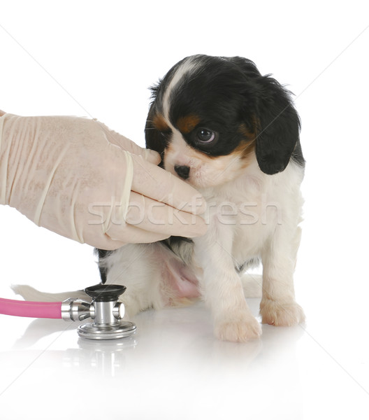 Stock fotó: állatorvosi · törődés · király · kutyakölyök · állatorvos · fehér