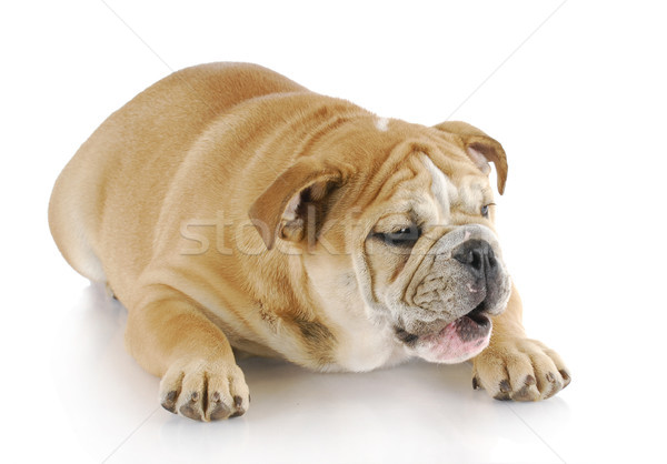 dog with mouth open Stock photo © willeecole