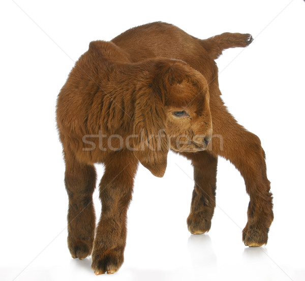 young goat Stock photo © willeecole