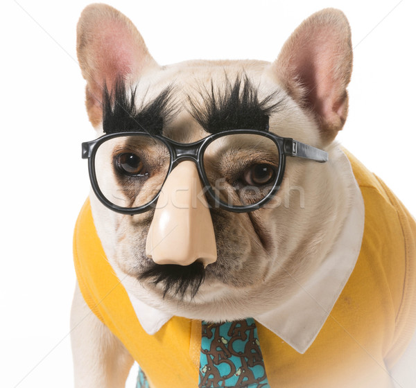 Cão disfarçar francês buldogue feliz engraçado Foto stock © willeecole