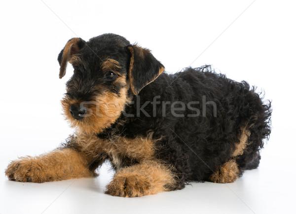 Сток-фото: терьер · щенков · белый · молодые · животного