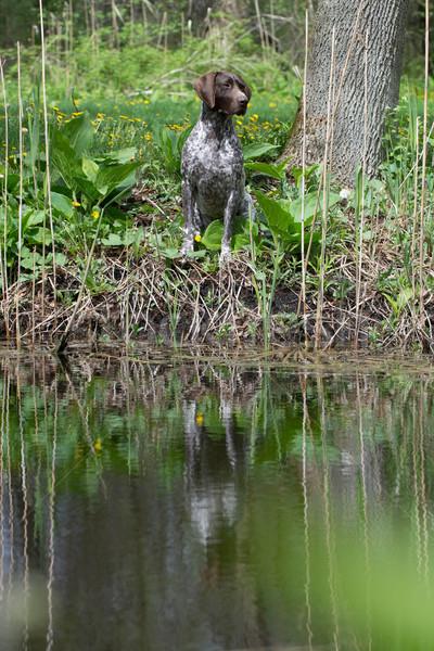 Jachthond vergadering boom bos reflectie huisdier Stockfoto © willeecole