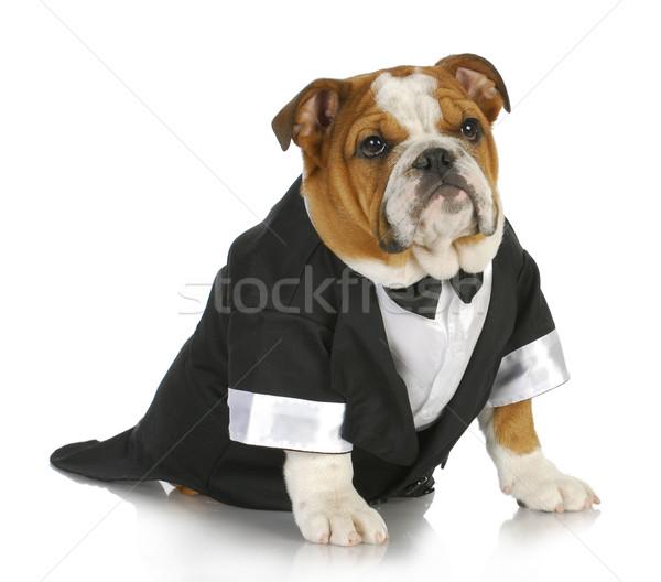 fancy dog Stock photo © willeecole