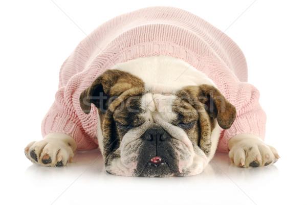 female bulldog Stock photo © willeecole
