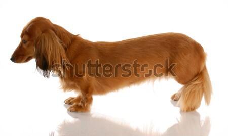 Miniatűr hosszú hajú tacskó ül oldalnézet kutya Stock fotó © willeecole