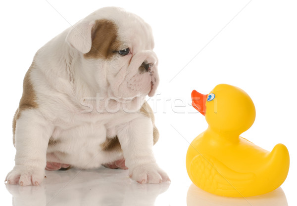 dog bath time - english bulldog puppy sitting beside a yellow rubber duck - 4 weeks old Stock photo © willeecole