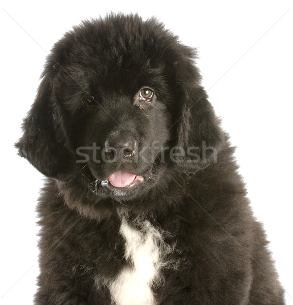 Twaalf week oude newfoundland puppy witte Stockfoto © willeecole