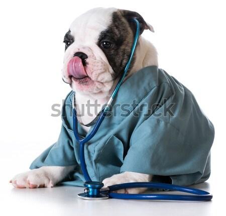 Altos cuidado de las mascotas labrador retriever estetoscopio bata de laboratorio Foto stock © willeecole