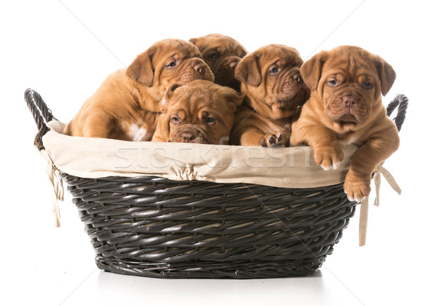 Puppies mand hond dier vriend Stockfoto © willeecole