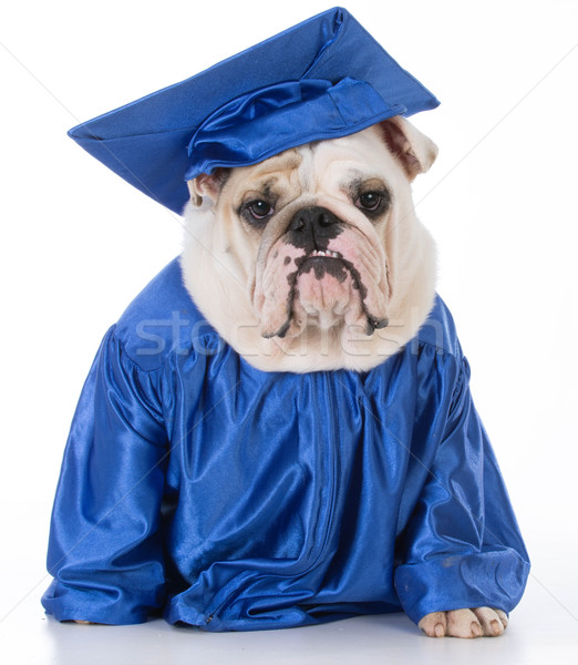 dog wearing graduate gown Stock photo © willeecole
