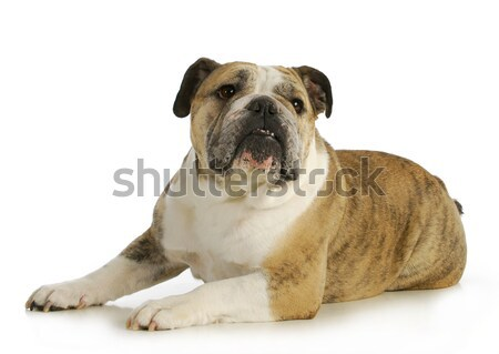 pregnant dog Stock photo © willeecole