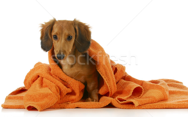Hond bad teckel gedroogd af Stockfoto © willeecole