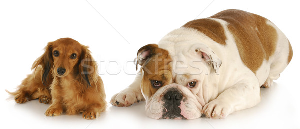 two dogs Stock photo © willeecole