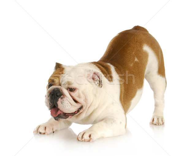playful dog Stock photo © willeecole