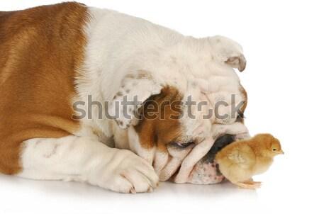 Hond chick baby kuikens gezicht grappig Stockfoto © willeecole