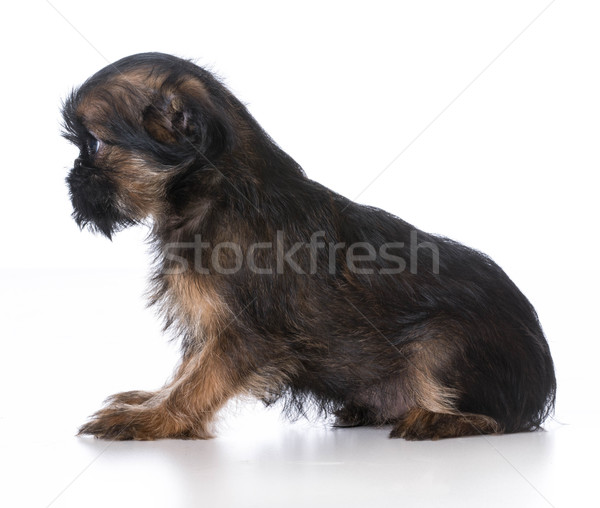 brussels griffon puppy Stock photo © willeecole