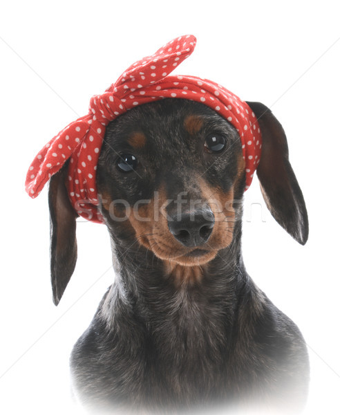 Femenino miniatura dachshund rojo mirando Foto stock © willeecole