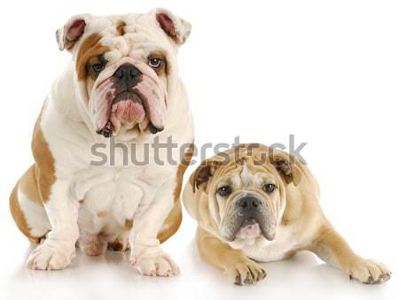 puppy love Stock photo © willeecole