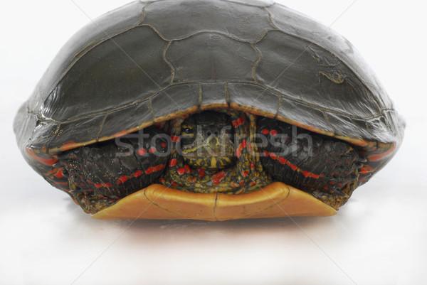 turtle hiding Stock photo © willeecole