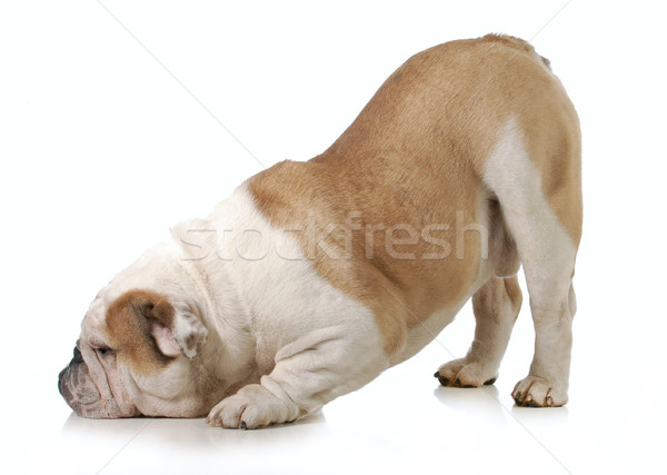 Chien anglais bulldog tête vers le bas bum Photo stock © willeecole