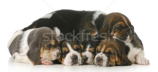 Cuccioli bracco baby gruppo divertimento Foto d'archivio © willeecole