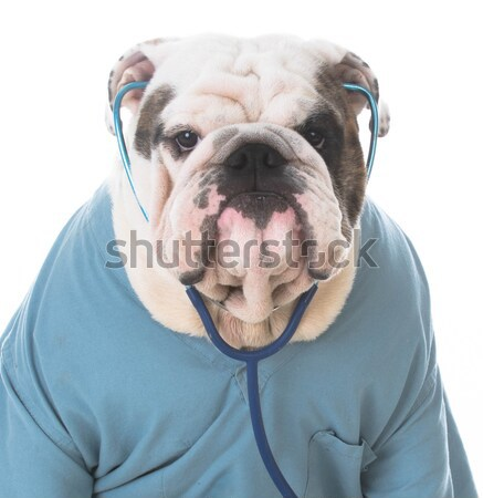 Sport fan Engels bulldog puppy Stockfoto © willeecole