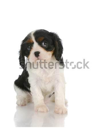 Stock fotó: Aranyos · kutyakölyök · király · ül · fehér · kutya